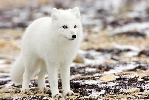 http://www.huntingsib.ru/files/image/ArcticFox04.jpg