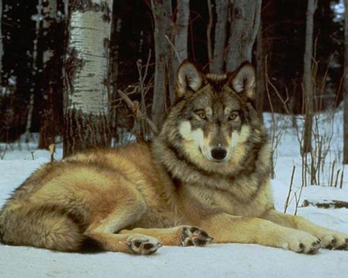 Вопреки утвердившемуся мнению именно этот волк достигает